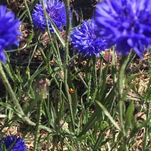Feeling genius. Ladybird among cornflowers